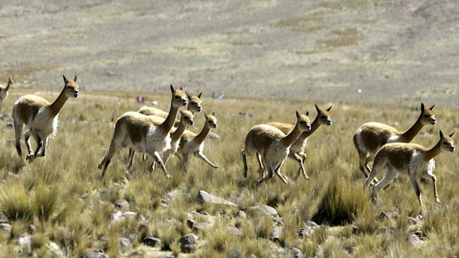 FILE - In this June 24, 2006 file photo, Peruvian highland  protected vicunas run on an Andean plain near Ayacucho, 205 miles (330 kilometers) southeast of Lima, Peru. Elephants, rhinos, sharks and manta rays are among the animals that could be getting more international protection at the triennial meeting of the Convention on International Trade in Endangered Species of Wild Fauna and Flora. The CITES meeting agreed to a proposal from Ecuador to ease controls on its national population of vicuna, an animal native to the Andes and a relative of the llama. (AP Photo/Martin Mejia, File)