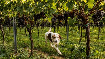 10 Dog-Friendly Wineries in Virginia and Maryland