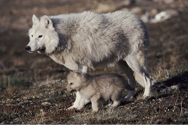 Grey wolf (arctic form) with pup near den, Ellesmere Island, Canada. Young pups born into the High Arctic packs have a precarious life ahead of them if they are to grow to a size big enough to survive