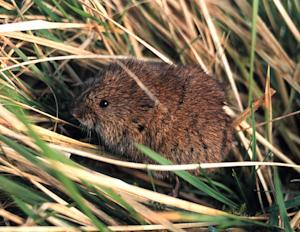 Vole Population Booms on the Decline in Europe