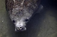 A manatee is pictured in Florida, January 7, 2010. REUTERS/Carlos Barria