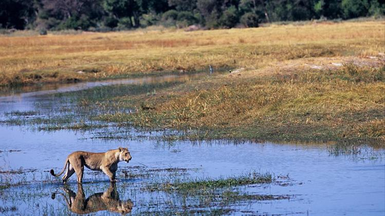 Lion in the Okavango, as seen on the 'Pole to Pole' episode of Planet Earth.