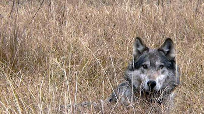 This undated image provided by Montana Fish Wildlife and Parks  shows a wolf in Montana. Facing mounting pressure from Congress, wildlife advocates and the U.S. Department of Interior on Friday March 18, 2011 reached an agreement to lift gray wolf protections in Montana and Idaho and allow hunting of the predators to resume.(AP Photo/Montana Fish Wildlife and Parks)