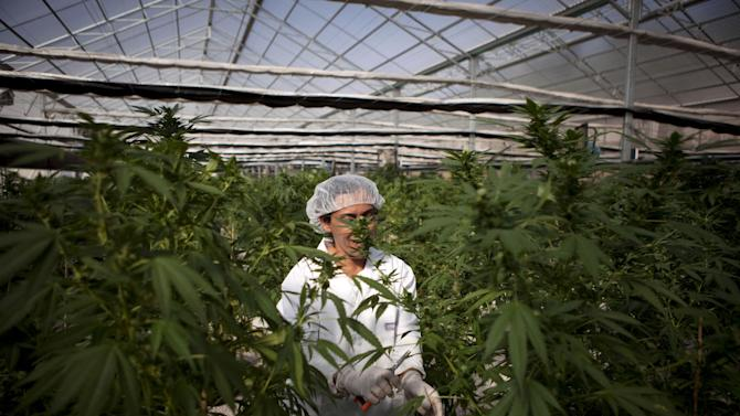 In this photograph made on Thursday, Nov. 1, 2012, an Israeli woman works at Tikkun Olam medical cannabis farm, near the northern Israeli city of Safed, Israel. Marijuana is illegal in Israel but medical use has been permitted since the early nineties for cancer patients and those with pain-related illnesses such as Parkinson's, Multiple Sclerosis, and even post-traumatic stress disorder. (AP Photo/Dan Balilty)