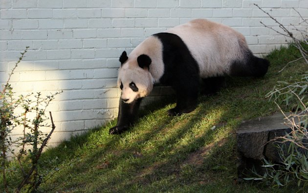 FILE - In this Dec. 12, 2011 file photo, a giant female panda named Tian Tian is seen exploring her enclosure at Edinburgh Zoo in Edinburgh, Scotland. Zoo officials on Tuesday, April 3, 2012 created a private love nest for Britain&#39;s only pair of giant pandas in hope the fertility-challenged animals will mate. Giant pandas have difficulty breeding, with females fertile for only two or three days a year. (AP Photo/Scott Heppell, File)