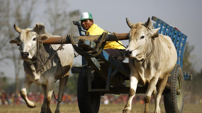 A bullock cart races to the finishing line during the Elephant festival at Sauraha in Chitwan