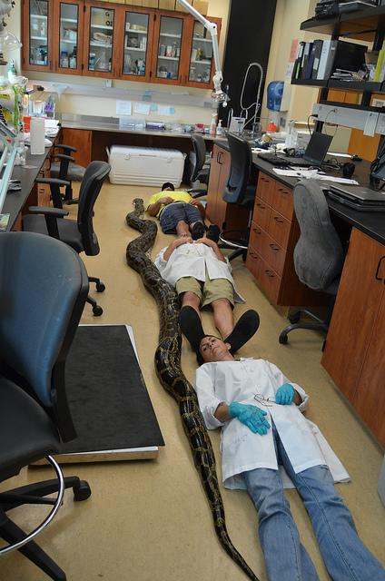 Nearly 19 Feet! Longest Burmese Python Captured in Florida