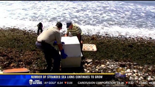 Number of stranded sea lions continues to grow