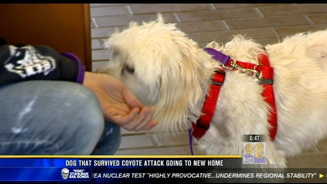 Dog that survived coyote attack to get new loving home