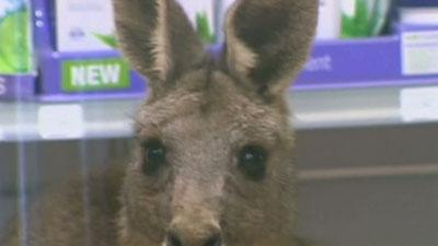 Kangaroo Discovered Hopping Around in Airport