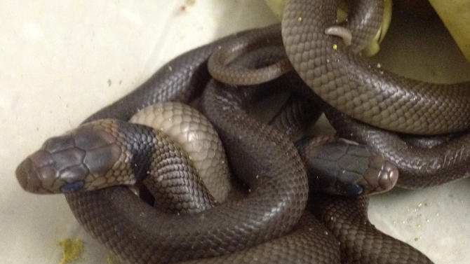 In this Tuesday, Dec. 18, 2012 photo taken by reptile carer Trish Prendergast, eastern brown snakes sit in a deep tub after hatching in Townsville, northern Queensland, Australia. A 3-year-old Australian boy was lucky to escape uninjured after a collection of eggs he found in his yard hatched into a slithering tangle of the deadly snakes. Prendergast said Friday, Dec. 21, 2012 that young wildlife enthusiast Kyle Cummings could have been killed if he had handled the eastern brown snakes - the world's most venomous species on land after Australia's inland taipan. Kyle found a clutch of nine eggs a few weeks ago in the grass on his family's 1.2-hectare (3-acre) property, Prendergast said. (AP Photo/Trish Prendergast)