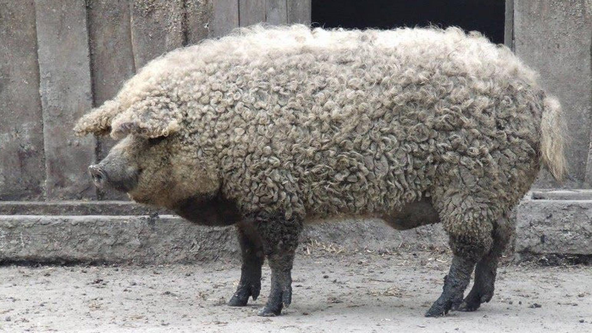 Your new dream pet is a fuzzy Mangalica pig that looks like a sheep