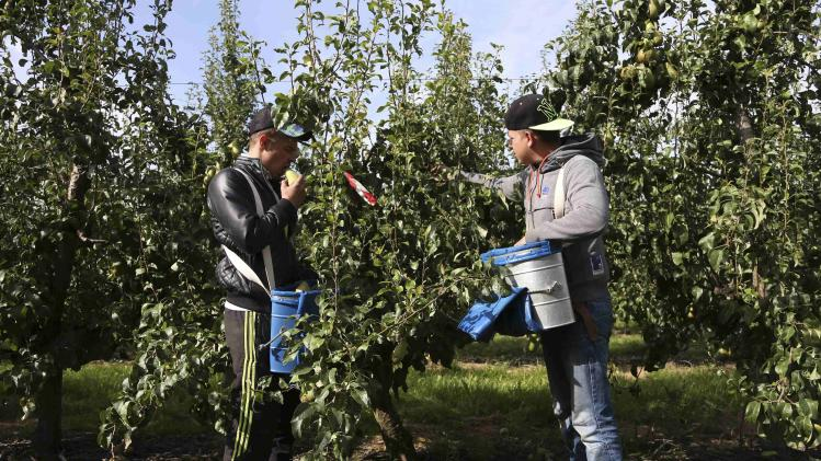 Workers pick pears during a harvest in an orchard in Hannut near Liege