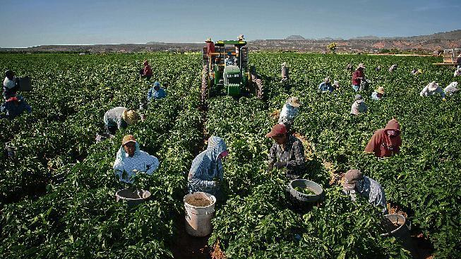 In this Saturday, July 25, 215 photo, workers harvest chile on the 350-acre Adams Produce farm near Hatch, New Mexico. Efforts are underway to save the green chile that's important to traditional New Mexican fare as labor shortages, a previous severe drought and competition from China, India and Mexico endanger its growth in the state. (Jett Loe/Las Cruces Sun-News via AP)MANDATORY CREDIT
