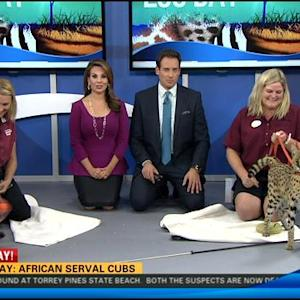 Zoo Day: African serval cubs