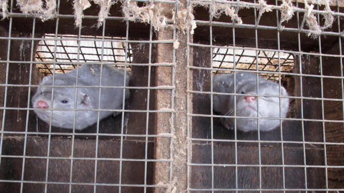 In this Feb. 12, 2013 photo two minks in cages at Bob Zimbal's fur farm in Sheboygan Falls, Wis. The U.S. fur industry has been volatile over the past 15 year with falling pelt prices that forcing dozens of American farms out of business. (AP Photo/Carrie Antlfinger)