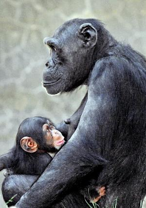 FILE - In this file photo provided Thursday May 17, 2012, by the Los Angeles Zoo shows a baby chimp, born March 6, seated with its mother, Gracie, at the zoo in Los Angeles. Officials at the Los Angeles Zoo say the baby chimpanzee was killed by an adult male chimpanzee inside their exhibit as visitors watched. A zoo spokesman, said in a statement that visitors told zoo officials the 3-month-old infant chimp who had not yet been named was attacked in her habitat by the adult male on Tuesday.(AP Photo/Los Angeles Zoo,File)