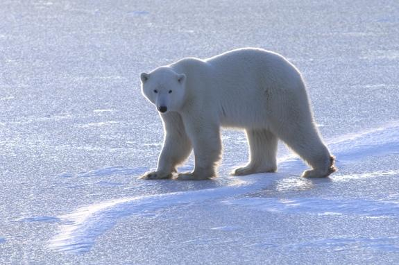 Melting Sea Ice Keeps Hungry Polar Bears on Land