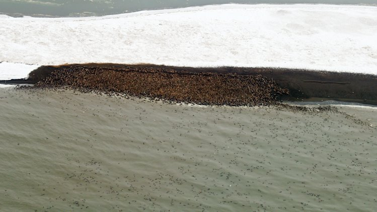 This Sept. 27, 2013 image provided by NOAA Fisheries shows thousands of walruses hauling out on a remote barrier island in the Chukchi Sea near Point Lay, Alaska. An estimated 10,000 Pacific walrus have gone ashore on Alaska's northwest coast and are bunched along a beach near the village of Point Lay. The National Marine Fisheries Service says 1,500 to 4,000 walrus were counted Sept. 12 and numbers had swollen to 10,000 on Friday. (AP Photo/NOAA Fisheries, Stan Churches)