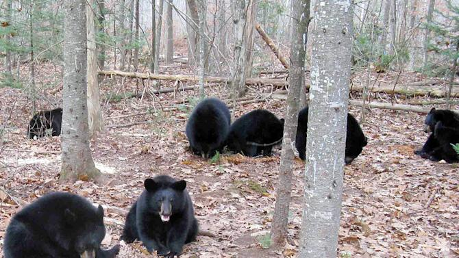 In this photo provided by Ben Kilham, black bears are seen inside an 8-acre forested enclosure, Oct. 28, 2012 in Lyme, N.H. Ben Kilham is the state's only licensed bear rehabilitator. Typically he cares for three to five black bear cubs each winter. But when a bad year for feeding followed a good one for breeding, he ended up with 27 orphaned bears to to take care of for the winter. (AP Photo)