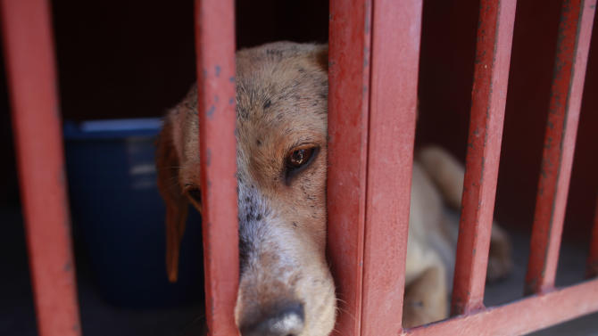 One of the dogs that was caught near the site of four fatal maulings sits inside a cage at a city dog pound in Mexico City,Wednesday, Jan. 9, 2013. Authorities have captured dozens of dogs near the scene of the attacks in the capital's poor Iztapalapa district, but rather than calm residents, photos of the forlorn dogs brought a wave of sympathy for the animals, doubts about their involvement in the killings and debate about government handling of the stray dog problem. (AP Photo/Dario Lopez-Mills)