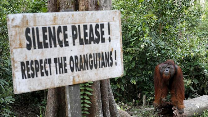 File picture of a male orangutan waiting near a feeding station at Camp Leakey in Tanjung Puting National Park in Central Kalimantan province, Indonesia