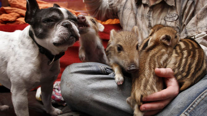 French bulldog named Baby, left, attends the feeding of wild boar piglets at the Lehnitz animal sanctuary outside Berlin, Germany, Wednesday, Feb. 15, 2012. Six little pigs have found a new friend in a maternal French bulldog named Baby. The Lehnitz animal sanctuary outside Berlin says Baby took straight to the wild boar piglets when they were brought in Saturday, three days old and shivering from cold. Sanctuary worker Norbert Damm said Wednesday as soon as the furry striped piglets were brought in, Baby ran over and started snuggling them and keeping them warm, even though they're already about her size. He says the piglets' mother was likely killed by a hunter and the litter was found abandoned in a forest. The piglets are being bottlefed right now and should be released to an animal sanctuary when they can feed themselves in about three months. (AP Photo/Michael Sohn)