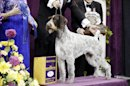 Oakley, a German wirehaired pointer and winner of the Sporting group, is posed for photographs during the 137th Westminster Kennel Club dog show, Tuesday, Feb. 12, 2013, at Madison Square Garden in New York. (AP Photo/Frank Franklin II)