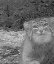 Here, kitty! The Pallas&#39;s cat comes in for it&#39;s camera-trap close-up.
