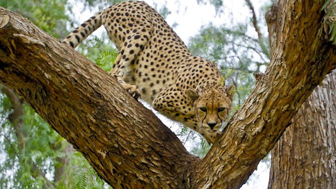In this Nov. 29, 2012 photo, Makena, a 7-year-old female cheetah, maneuvers through a tree keeping a close watch on a stranger in the cheetah breeding facility at Safari Park, in Escondido, Calif. Cheetahs live 12 to 15 years in captivity. Males weigh 120 to 150 pounds and females 100 to 120 pounds. (AP Photo/Lenny Ignelzi)