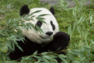 Tai Shan was born at 3:41 a.m. July 9, 2005, weighing only a few ounces at birth. The first cub for mother Mei Xiang (may-SHONG) and father Tian Tian (tee-YEN tee-YEN), he was conceived through artificial insemination March 11, 2005, in a proce