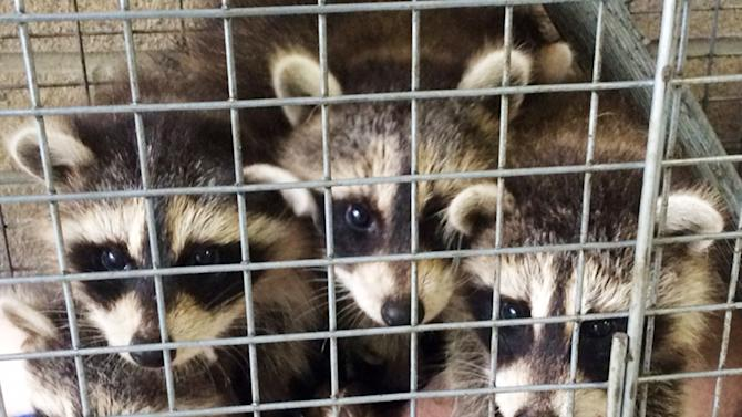 In this Friday, May 23, 2014 photo provided by the Westchester County Department of Health are three young raccoons that were left at the doorstep of the department's office in New Rochelle, N.Y. The health department is asking the person who left the animals to come forward and be tested for rabies, which the raccoons can carry. (AP Photo/Westchester County Department of Health)
