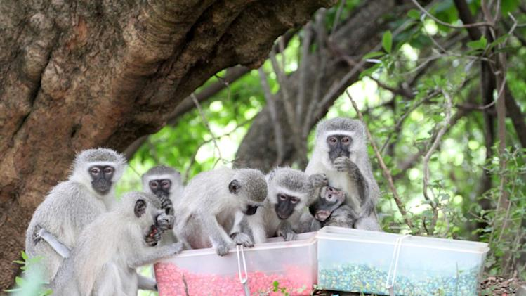 This photo taken in 2012, provided by the Centre for Social Learning and Cognitive Evolution Scottish Primate Research Group and the journal Science shows monkeys from Noha group feeding on pink-dyed corn in South Africa. Some wild animals seem to follow the same monkey-see, monkey-do social conformity in the quest for good food that people do, a new study finds. Monkeys in South Africa instantly switched food choices _ to something they used to avoid _ purely because of peer pressure, like teenagers in high school, scientists say. And generations of humpback whales off the coast of New England learned a new feeding technique from watching what worked for one of them, according to two studies in Thursday's journal Science. (AP Photo/Erica van de Waal, Science) Science