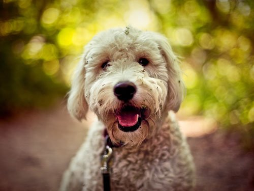 Goldendoodle (Golden Retriever + Poodle)