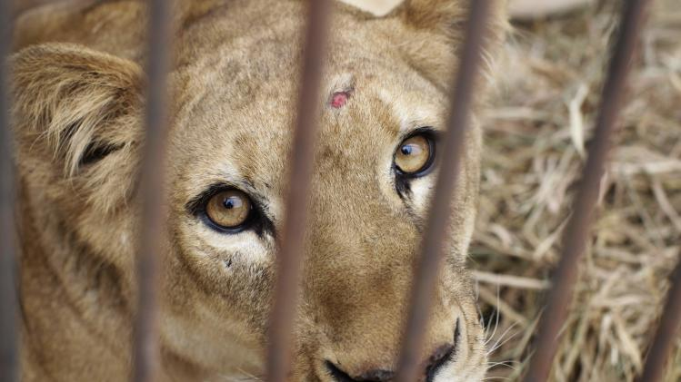 "Rescused lioness ""Kiara"" is seen in its cage during quarantine at a temporary custody centre in Lima"