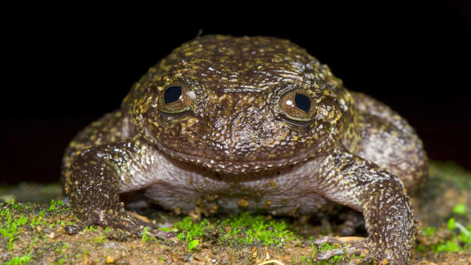 In this September 2011 photo released by Systematics Lab, Delhi University, a Wayanad night frog sits in the forests of the Western Ghats in Kerala. A team of Indian scientists have discovered 12 new frog species, plus another three thought to have been extinct. The Wayanad night frog grows to about the size of a baseball or cricket ball. (AP Photo/Systematics, Lab Delhi University, Sathyabhama Das Biju) EDITORIAL USE ONLY