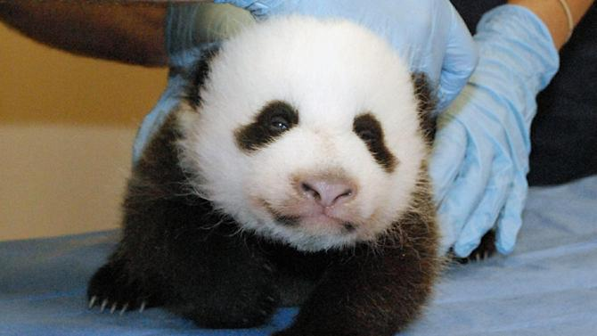 This photo provided by the Smithsonian's National Zoo shows Mei Xiang's giant panda cub undergoing an exam on Oct. 11, 2013, at the zoo in Washington. The zoo was set to reopen on Friday, though the popular panda cam went live on Thursday morning, Oct. 17. By Oct, 11 exam, the cub had both her eyes partially open and she now is reacting to the noises she hears in the panda house. (AP Photo/Smithsonian National Zoo, Bill Clements)