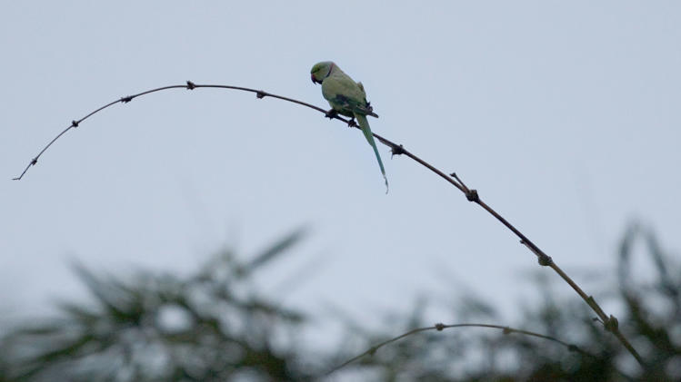 In this photo taken Saturday, March 3, 2012, an Indian ring-necked parakeet sits on a bamboo branch in Le Jardin du Roi Spice Garden near Anse Royale on the island of Mahe in the Seychelles. The eradication of the Indian ring-necked parakeet is the goal so that a Seychelles' national bird, the black parrot, may live, those carrying out the EU-funded project say. (AP Photo/Gregorio Borgia)