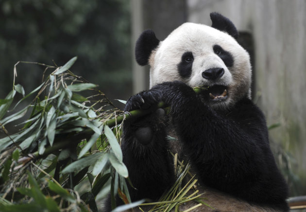 In this photo released by China's Xinhua News Agency, giant panda Yang Guang eats bamboo prior to a journey to Britain in Ya'an, southwest China's Sichuan Province, Saturday, Dec. 3, 2011. As part of