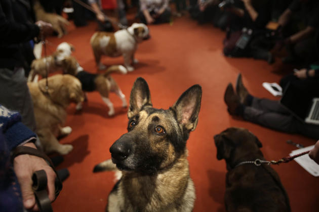 A German Shepard named Commander attends a news conference at the American Kennel Club in New York, Wednesday, Jan. 30, 2013. The club announced their list of the most popular dog breeds in 2012 and t