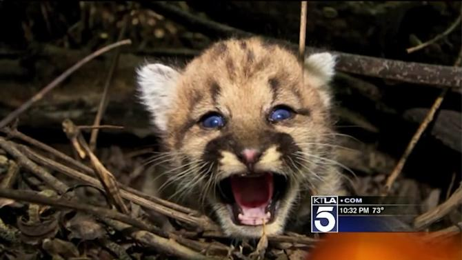 2 New Mountain Lion Kittens Born in L.A.-Area Mountains, Federal Study Documents