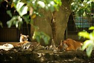 Tigers sleep in their enclosure at the Manila Zoo. The zoo, owned by the City of Manila and built in 1959, is a far cry from its glory days in the early 1960s, when it boasted a huge menagerie of lions, tigers, bears, leopards and giraffes