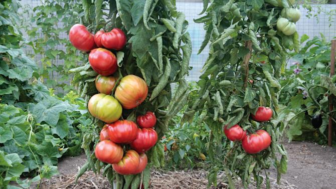 In this publicity photo provided by courtesy Ball Horticultural Co., side-by-side tests run by Ball Horticultural Co. show at least 50 percent higher yields from grafted tomato transplants, left, over non-grafted varieties, right, as seen here at Log House Plants Nursery, in Cottage Grove, O.R. That total varies somewhat depending upon garden and gardener but means more fruit or larger fruit.  Grafted vegetables are expected to be a big hit in seed catalogs and retail stores next season. (AP Photo/Ball Horticultural Co., Robin Bachtler Cushman)