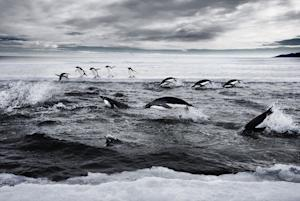 How Climate Change May Help Penguin Colony
