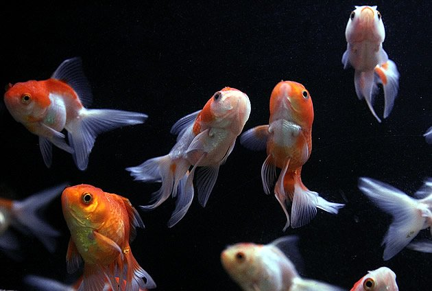 Fishes smell sugar as danger, a study revealed. (Getty Images)