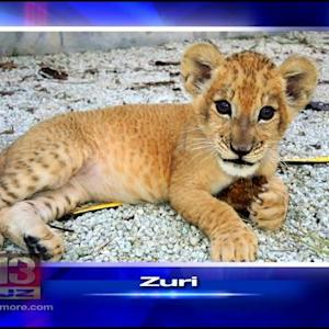 Miami Lion Cub Joins 2 Other Cubs At Maryland Zoo