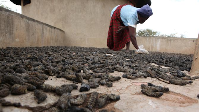In this photo taken Monday Jan. 7, 2013, Mavis Nkomo places harvested mopane worms outside to dry, outside her home in Gwanda, Zimbabwe. In Zimbabwe as well as most parts of southern Africa, mopane worms are a staple part of the diet in rural areas and are considered a delicacy in the cities. They can be eaten dry, as crunchy as potato chips, or cooked and drenched in sauce. (AP Photo/Tsvangirayi Mukwazhi)