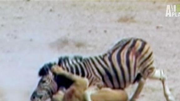 Zebra Escapes Lion's Jaws