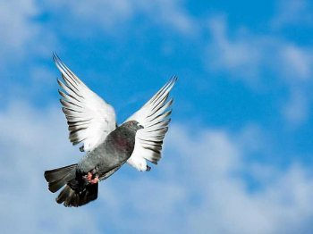 pigeon flying soaring sky