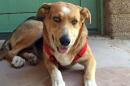 This undated photo provided by the Pima Animal Care Center shows Sunny, a shepherd mix, at the center in Tucson, Ariz. Sunny was found on May 12, 2015 hanging from a tree and has since been recovering. She is now in the care of a foster home. People from all over the world have donated $20,000 for Sunny's medical expenses, although most of it will also help other pets in the county shelter.(Pima Animal Care Center via AP)